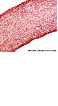 elastina idrolizzata