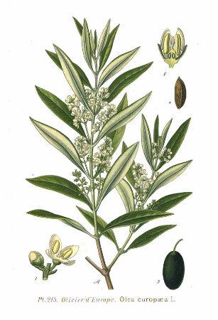 fitobios-olea-europea-jpg