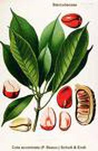 cola sterculia acuminata